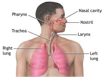 Nasal - Lungs